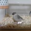 小動物でアニマルセラピーは可能か・?文鳥さん買ってきた!