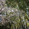 ひとりプチ花見 in 長居公園 五分咲きかな、来週もいけるで!